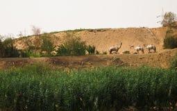 Dromedaries nella riva del fiume del Nilo Immagine Stock