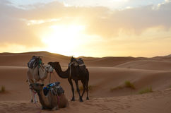 Dromedaries Resting in the sunrise of Sahara Great Desert in High Atlas Mountains, Morocco. Three Dromedaries Resting in the sunrise of Sahara Great Desert in Stock Images