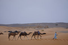 Dromedaries in a row in the desert of the ERG Morocco. Erg Morocco Three dromedaries are taken to the camp by their master after an intense day of work.Desert Royalty Free Stock Image