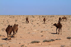 Dromedaries in the Sahara. Some Dromedaries in the Sahara Stock Photography