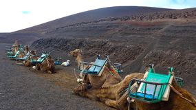 Dromedaries scientific name camelus dromedarius waiting for tourists in Timanfaya National Park, Lanzarote,. Dromedaries scientific name camelus dromedarius Stock Photo