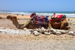 Dromedaries at Sidi Kaouki Beach near Essaouira, Morocco. Beautiful sand beach of Sidi Kaouki near Essaouira, Morocco in Africa. Two dromedaries are resting on Royalty Free Stock Images