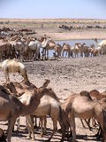 Dromedaries in Sudan, Africa. Dromedaries drinking from a pond in South Kordofan State of Sudan Royalty Free Stock Photos