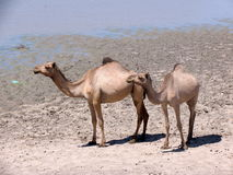 Dromedaries in Sudan, Africa. Dromedaries walking near a pond in South Kordofan State of Sudan Royalty Free Stock Photography
