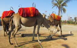 Dromedaries. Three camels waiting for tourists bound for a walk near Marrakech Menara Gardens in Morocco, spring Stock Photography