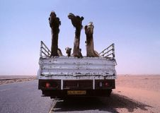 Dromedaries on a truck. Transport by truck to a group of dromedaries on the road between Sabhah and Ghat in the south western desert of Libya Royalty Free Stock Image