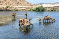 Dromedaries at Wadi Darbat, Taqah (Oman). Dromedaries drinking at Wadi Darbat, Taqah (Oman Stock Photo
