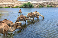 Dromedaries at Wadi Darbat, Taqah (Oman). Dromedaries drinking at Wadi Darbat with cliffs, Taqah (Oman Royalty Free Stock Photography