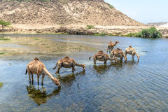 Dromedaries at Wadi Darbat, Taqah (Oman). Dromedaries drinking at Wadi Darbat with cliffs, Taqah (Oman Stock Images