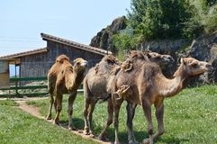 Dromedaries walking in a row stock image