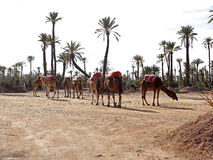 Dromedaries in the West Sahara. Several dromedaries in the West Sahara Stock Photography