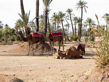 Dromedaries in the West Sahara. Several dromedaries in the West Sahara Royalty Free Stock Image