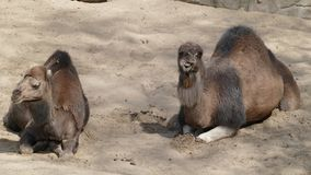 Dromedaries. Dromedaries at the zoo in Antwerp, Belgium Royalty Free Stock Photography