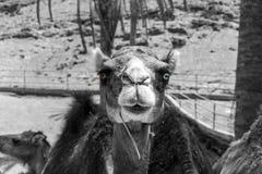 Dromedario negro-blanco Fotografía de archivo