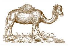 Dromedario o cammello arabo nella vista di profilo royalty illustrazione gratis
