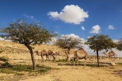 Dromedarios de los camellos que caminan en el desierto del Néguev, imagenes de archivo