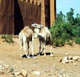 Dromedarios en Ait Benhaddou, Marruecos, África imagen de archivo