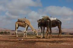 Dromedarios en Ait Benhaddou, Marruecos Foto de archivo libre de regalías