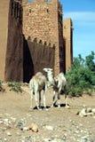 Dromedarios en amor en Marruecos, África fotos de archivo