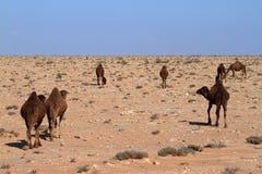 Dromedarios en el Sáhara fotografía de archivo