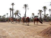 Dromedarios en el Sáhara del oeste fotografía de archivo