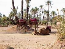 Dromedarios en el Sáhara del oeste imagen de archivo libre de regalías