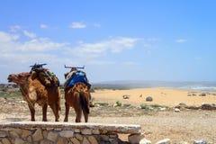 Dromedarios en la playa de Sidi Kaouki cerca de Essaouira, Marruecos foto de archivo libre de regalías