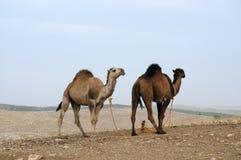 Dromedarios en turistas que esperan del paisaje estéril para foto de archivo libre de regalías