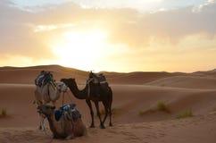 Dromedarios que descansan en la salida del sol de Sahara Great Desert en altas montañas de atlas, Marruecos imagenes de archivo