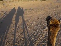 Dromedarios que montan, Túnez fotografía de archivo libre de regalías