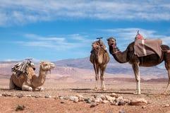 Dromedarios tradicionales en desierto marroquí imagen de archivo