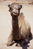 Dromedaris die (kameel) op woestijngrond leggen. royalty-vrije stock fotografie