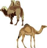 Dromedaris en Bactrische kameel. Stock Foto