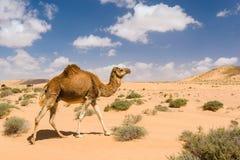 Dromedariskameel die in de woestijn, Wadi Draa, Tan- Tan, Moro lopen Royalty-vrije Stock Afbeeldingen
