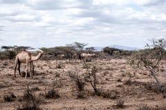 Dromedarissen in Kenia Stock Foto