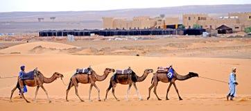Dromedarissen op een rij in de woestijn van de ERG Marokko Stock Afbeelding