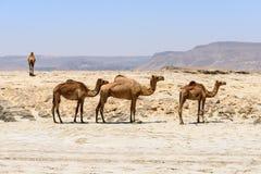 Dromedarissen op het strand, Taqah (Oman) stock afbeeldingen