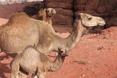 Dromedarissen van de woestijn Wadi Rum Stock Afbeelding