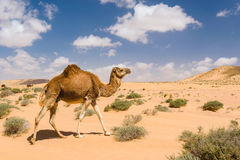 Dromedarkamel, das in die Wüste, Wadi Draa, TAN Tan, Moro geht Lizenzfreie Stockbilder