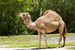 Dromedarkamel wissen auch als arabisches Kamel und indisches Kamel Stockbilder
