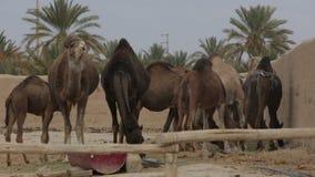 dromedary αγρόκτημα Ισραήλ ερήμων καμηλών negev απόθεμα βίντεο