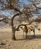 Dromedary στην έρημο στοκ φωτογραφίες με δικαίωμα ελεύθερης χρήσης