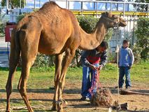 Dromedary στην κοιλάδα της Ιορδανίας Στοκ εικόνα με δικαίωμα ελεύθερης χρήσης