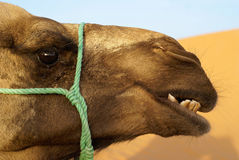 Dromedary Royalty Free Stock Images