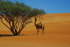 Dromedary. Eating leaves in the desert in Oman Stock Photography