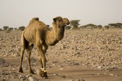 Dromedary. Hampered in southern Morocco (Africa Stock Photography