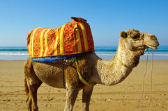 Dromedary. Camel / Dromedary on the beach in Morocco Stock Images