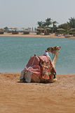 Dromedary. At the edge of the Red Sea Royalty Free Stock Images