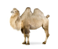 Dromedary. In front of a white background Royalty Free Stock Image