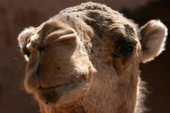 Dromedary. Snout of a Dromedary in Zagora , Marocco Stock Image